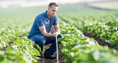 חקלאי מחזיק צינור טפטוף של מצר בשדה כותנה